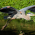 Parker Cunningham - Heron In Flight