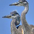 Jennie Breeze - Herons on the Lookout