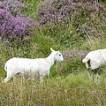 Diane Palmer - Highland Sheep of...