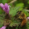 Billy  Griffis Jr - Honey Bee on Henbit...