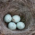 Erica Hanel - House Finch Nest