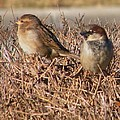 Rory Cubel - House Sparrow Pair on...