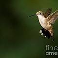 Sabrina L Ryan - Hovering Hummingbird