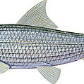 Illustration Of A Bonefish Albula by Carlyn Iverson