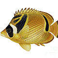 Illustration Of A Raccoon Butterflyfish by Carlyn Iverson