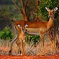 Amanda Stadther - Impala and young