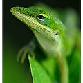 Dennis Stewart - Inquisitive Anole