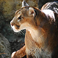 DiDi Higginbotham - Intense Mountain Lion