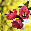 Janice Drew - Japanese Quince...