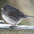 MTBobbins Photography - Junco on Board