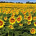 Gary Gingrich Galleries - Kansas Sunflowers Pano 9C