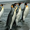 Amanda Stadther - King Penguins Coming...