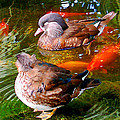 Jim Pavelle - Koi Pond Ducks