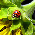 Christina Rollo - Lady Beetle