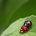 Christoph Caina - Lady Bugs in Love