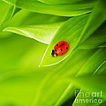 Ladybug On Leaves by Boon Mee