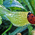 George Bostian - Ladybug with Dewdrops 004