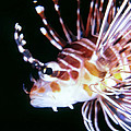 Dawn Eshelman - Lionfish 3