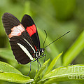 Bryan Keil - Longwing on a Leaf