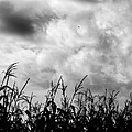 S Bordelon - Louisiana Corn Field