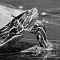 Bruce Bley - Lounging Turtle
