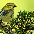 Inspired Nature Photography By Shelley Myke - Lovely Warbler on a...