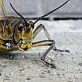 Chad and Stacey Hall - Lubber Grasshopper