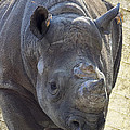 Lurching Rhino by Bill Tiepelman