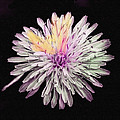 Bob and Nadine Johnston - Magical Chrysanthemum