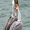 Darleen Stry - Male Brown Pelican Neck...
