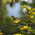 Christina Rollo - Male Common Yellowthroat...