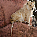 Les Palenik - Male lion on a rock