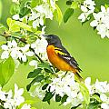 Andrea Kollo - Male Oriole on Apple Tree
