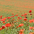 Anne Gilbert - Many Poppies