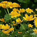 Linda Albonico - Marsh Marigolds in Spring