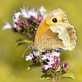 Steven Poulton - Meadow Brown