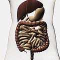 Medical Illustration Showing The Human by Stocktrek Images