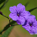 Living Color Photography Lorraine Lynch - Mexican Petunia