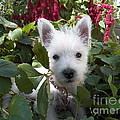 Photography Moments - Sandi - Miss Daisy - Westie Puppy