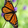 Sabrina L Ryan - Monarch Butterfly in...