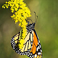Christina Rollo - Monarch Butterfly On...