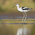 Bryan Keil - Morning Avocet