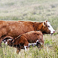 Marcia Colelli - Mother  and Calf