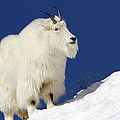 AM Ruttle - Mountain Goat on Blue