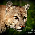 Myrna Bradshaw - Mountain Lion on alert
