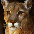 DiDi Higginbotham - Mountain Lion Portrait