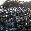 Agrofilms Photography - Mussels On A Rock