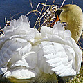 Pamela Phelps - Mute Swan in the Wind