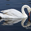 Susan Wiedmann - Mute Swan Kissing Its...