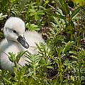 World Wildlife Photography - Mute Swan Pictures 210